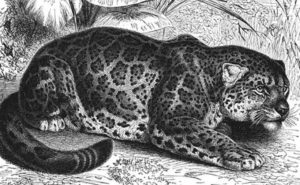 The Mexican Onza, Big Cat of Legend? - Mexico Unexplained